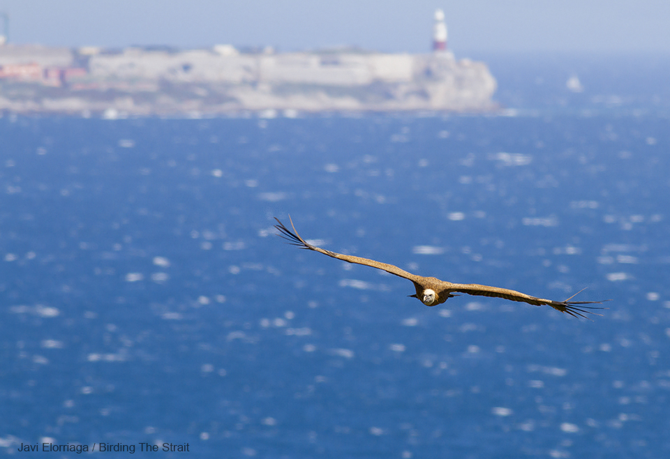 Immature Griffon in active migration across the Strait of Gibraltar, with Europa Point (Gibraltar) in the background - by Javi Elorriaga