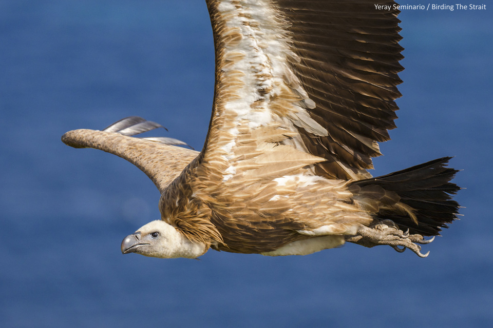 Immature Griffon reaching the European continent from Africa after crossing the Strait of Gibraltar - by Yeray Seminario