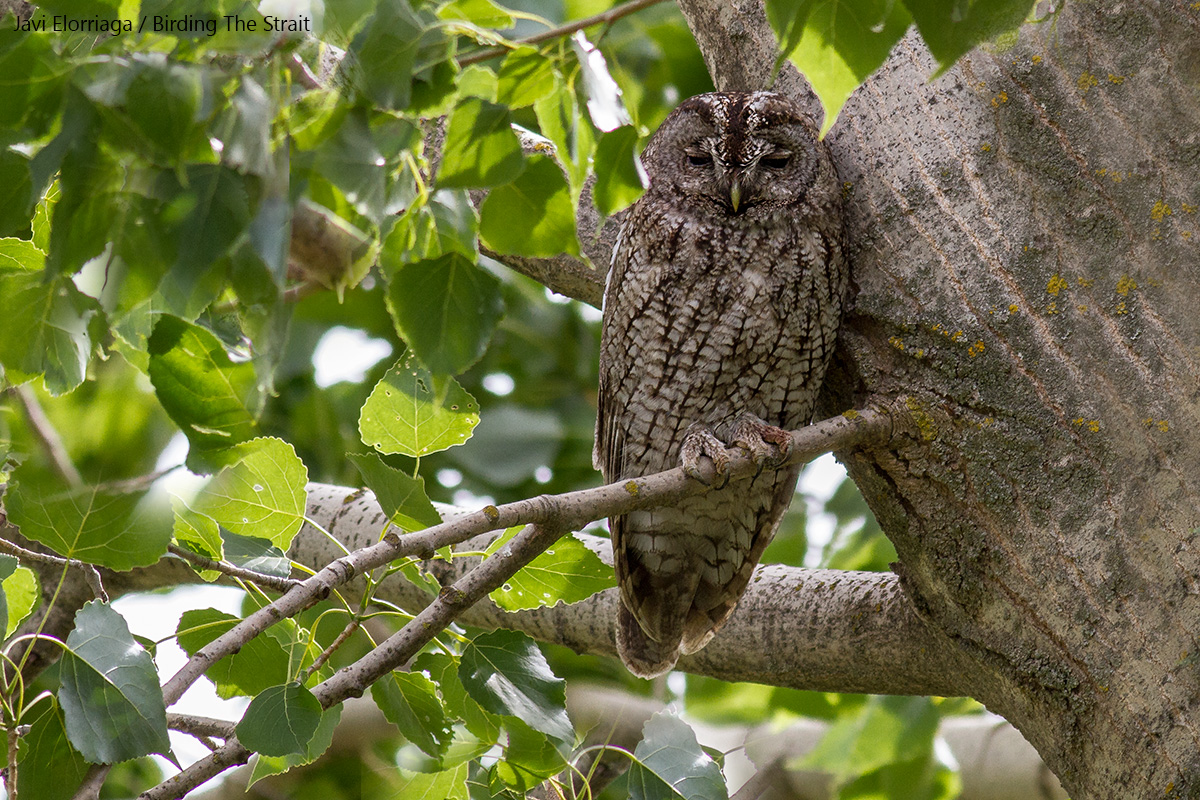 Maghreb Wood Owl (Strix aluco mauritanica), the NW African counterpart of the Eurasian Tawny Owl, showing the characteristic barred body. Ifrane National Park, 24th May 2017 - by Javi Elorriaga