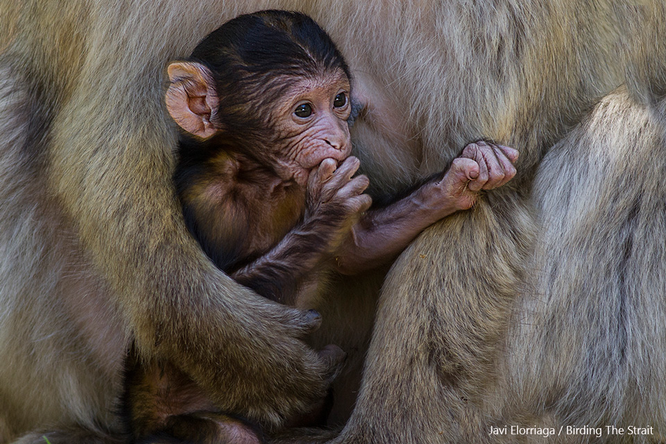Baby Barbary Macaque nursing in the Cedar forest of Ifrane National Park. 25th May 2017 - by Javi Elorriaga