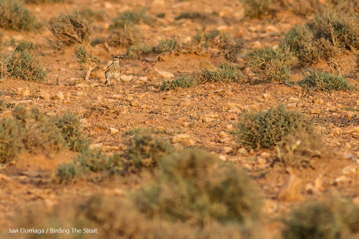 Record shot of an adult Dupont´s Lark carrying food to feed its fledgling. No doubt one of the most elusive species in Morocco. Zaida Plains, 25th May 2017 - by Javi Elorriaga