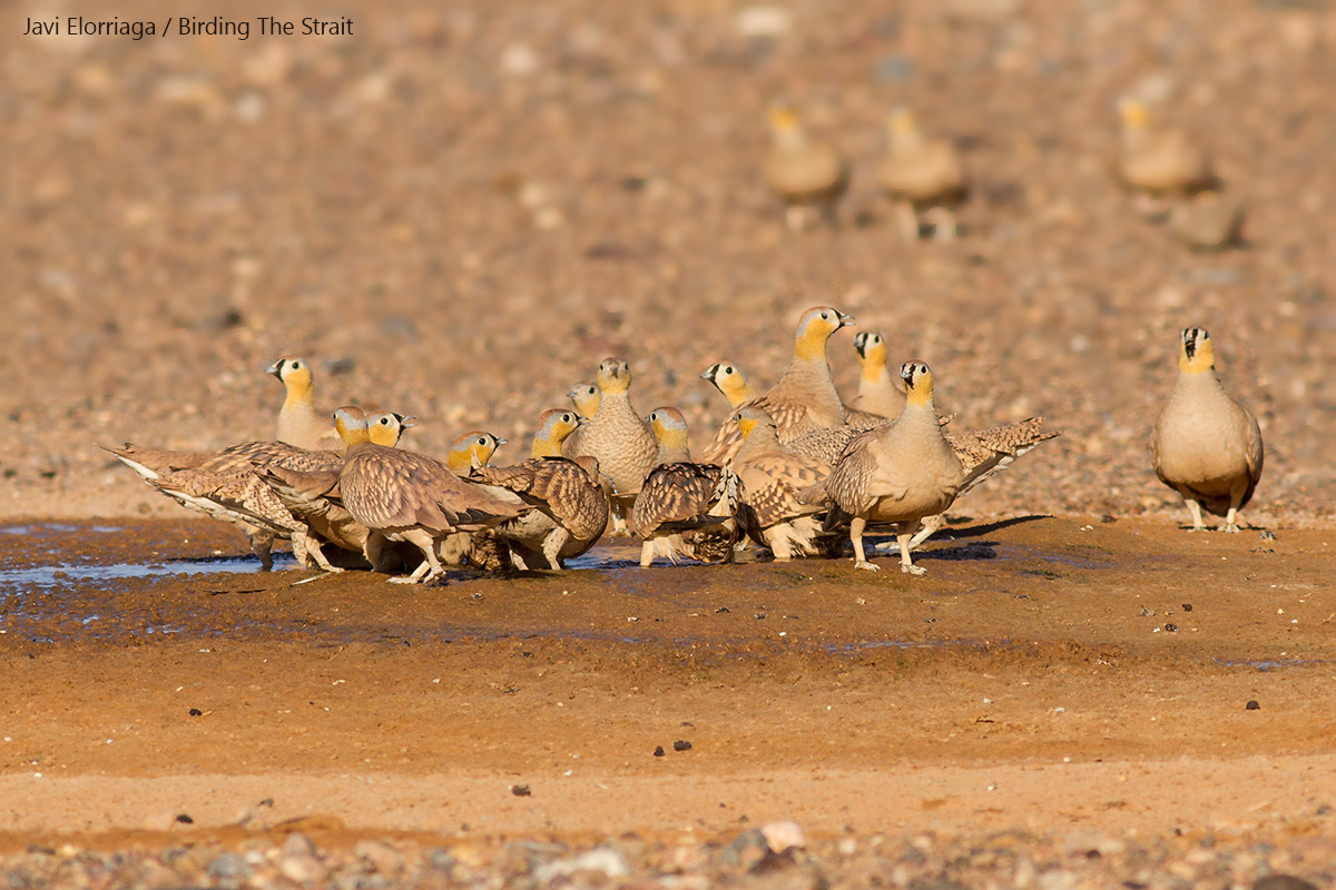 A group of Crowned Sandgrouses at a waterhole close to Merzouga, Erg Chebbi. Over 400 individuals visited this site for drinking and bathing after sunrise providing an unforgettable sight. 27th May 2017 - by Javi Elorriaga