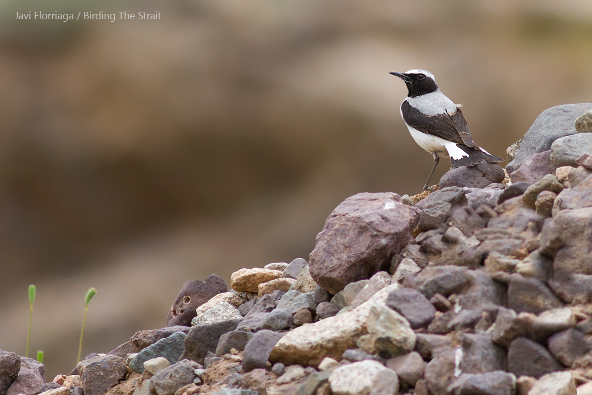 Seebohm´s Wheatear in the High Atlas. 31st March 2017 - by Javi Elorriaga