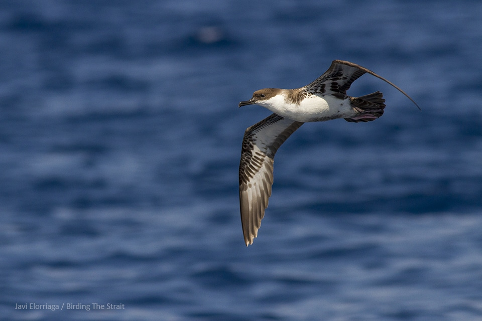 The Great Shearwater is a scarce species in the Gulf of Cádiz which very rarely approaches the coast. Photography by Javi Elorriaga from Birding The Strait