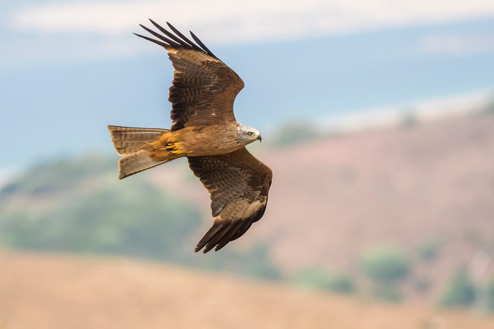 Black Kites in migration can be seen in birding day trips from Tarifa. Photography by Yeray Seminario, Birding The Strait.