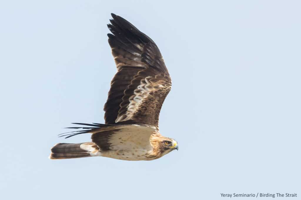 Booted Eagle in migration. Photography by Yeray Seminario, Birding The Strait.