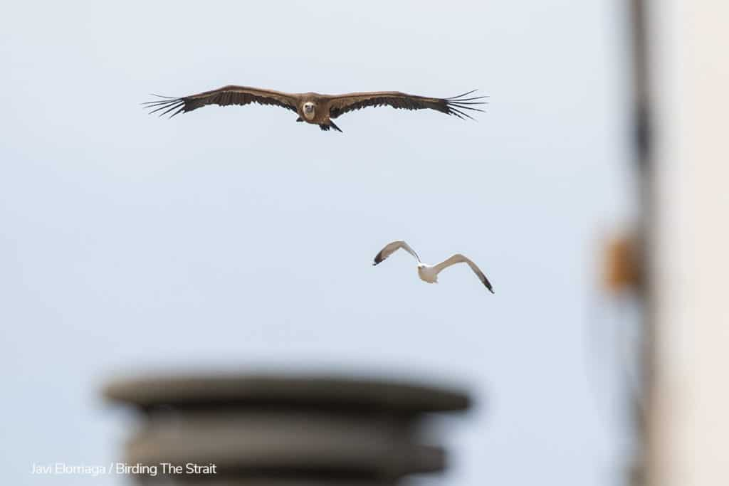 A Griffon Vulture on migration, flying low over the roofs of Tarifa. Photography by Javi Elorriaga, Birding The Strait.