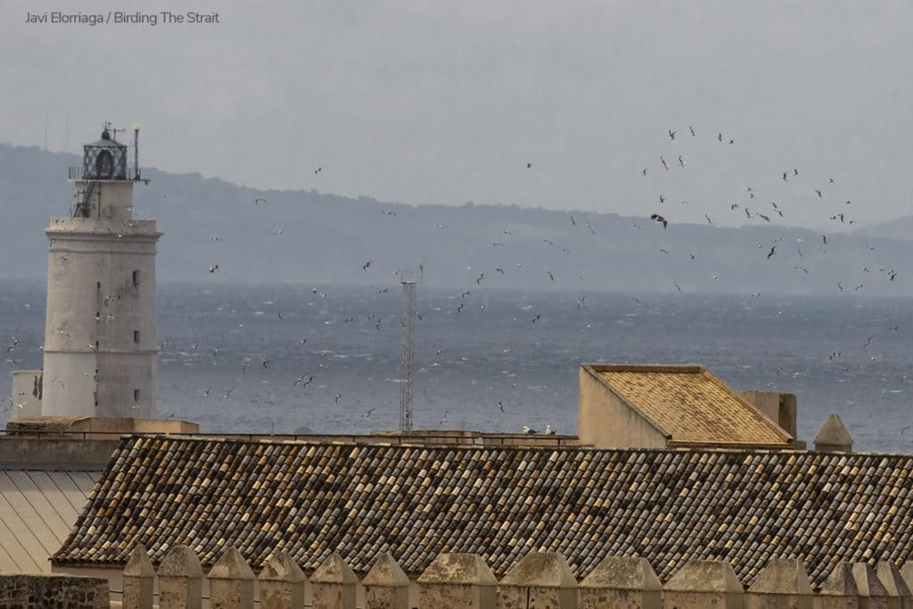 "A migrant Griffon reaching Europe and chased by hundreds of Gulls as it flies over their breeding colony at ""Isla de Las Palomas"" in Tarifa. The lighthouse marks the southernmost tip of the European continent. The coast of Africa is in the background. Photography by Javi Elorriaga, Birding The Strait."