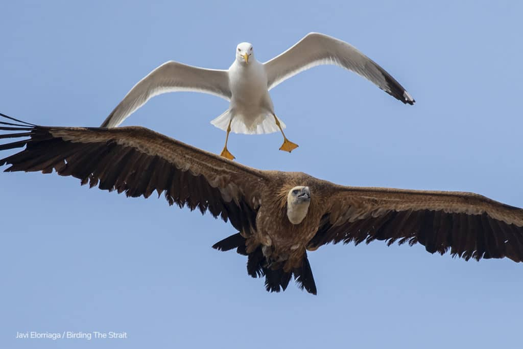 The same Gull chasing a different Griffon. Photography by Javi Elorriaga, Birding The Strait.