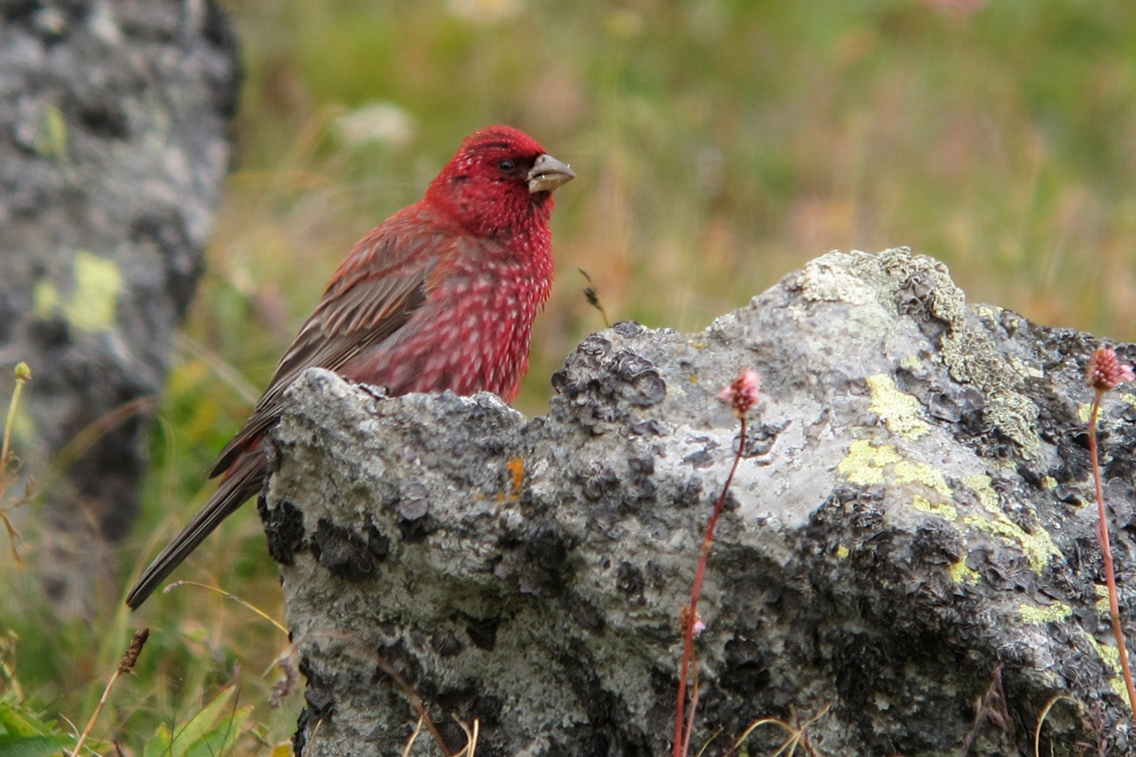 Great Rosefinch. Photography by Simon Cavaillés