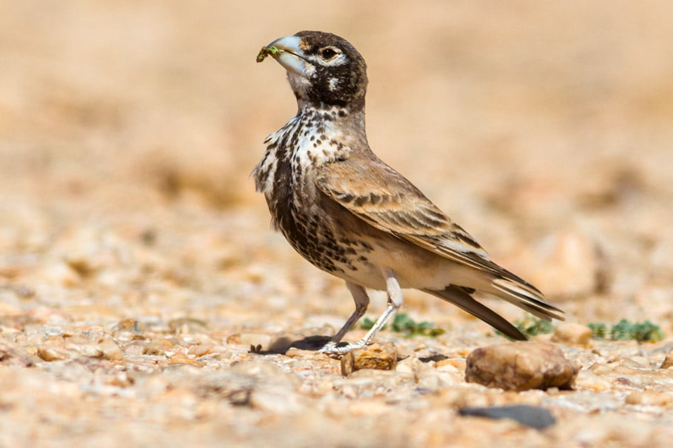 Thick-billed Lark is one of the most sought-after species in Birding Tours in Morocco. Photography by Yeray Seminario, Birding The Strait.