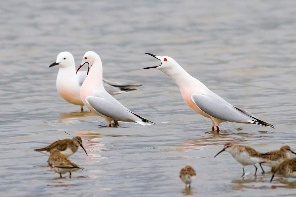 Slender-billed Gulls in Doñana. Photography by Yeray Seminario, Birding The Strait.