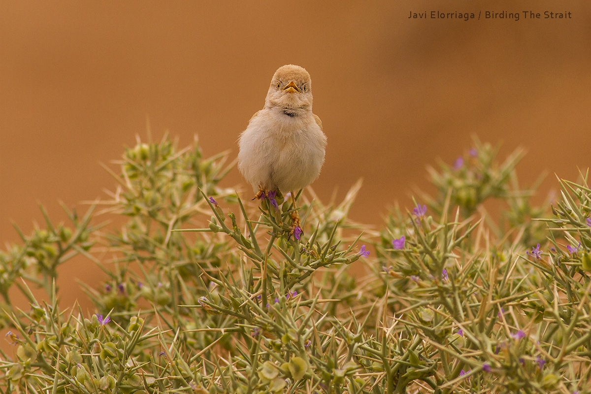 A Desert warbler beautifully singing at Erg Chebbi. Picture by Javi Elorriaga, Birding The Strait.