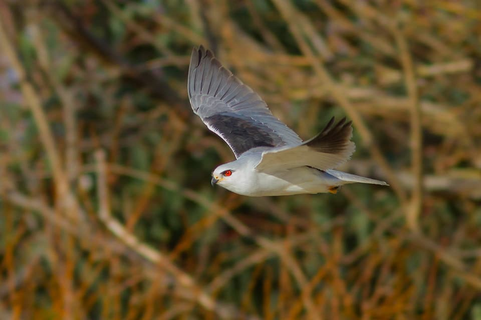 Black-winged Kite in La Janda. Photography by Yeray Seminario, Birding The Strait.
