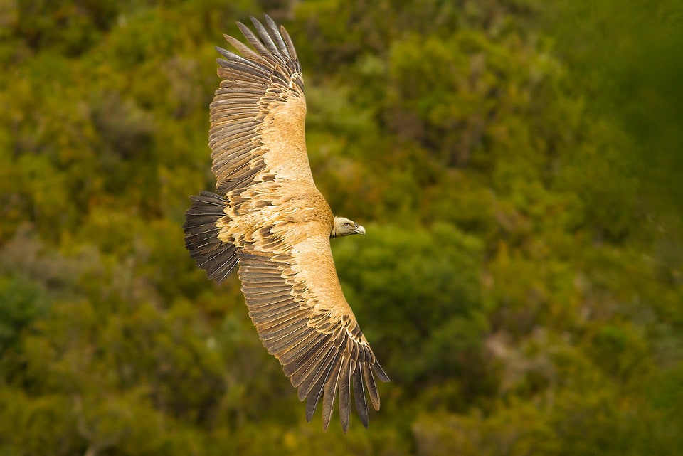 Eurasian Griffon and Sierra de Grazalema Natural Park. Photography by Yeray Seminario, Birding The Strait.