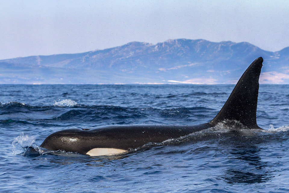 The Strait of Gibraltar is home to several families of Orcas. Photography by Yeray Seminario, Birding The Strait.