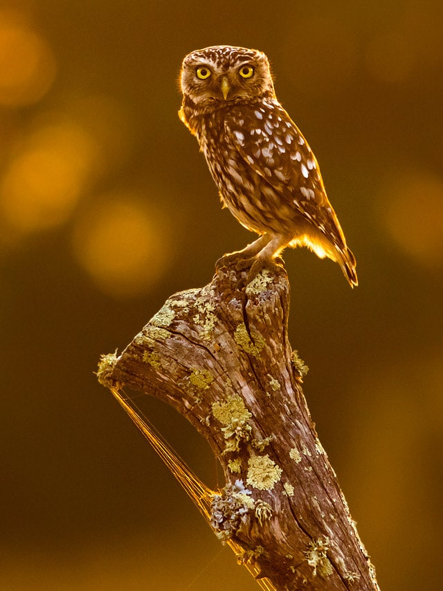 Little Owl in La Janda, one of the charismatic birds of southern Spain. Photography by Yeray Seminario, Birding The Strait.