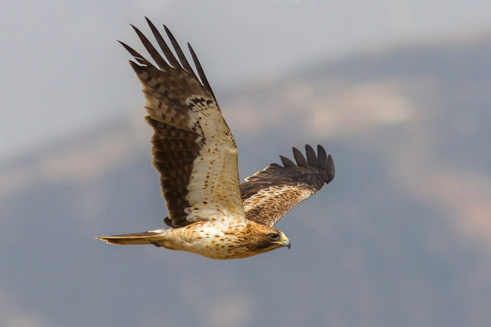 Birding Tours in Spain image: Booted Eagle in Tarifa. Photography by Yeray Seminario, Birding The Strait.