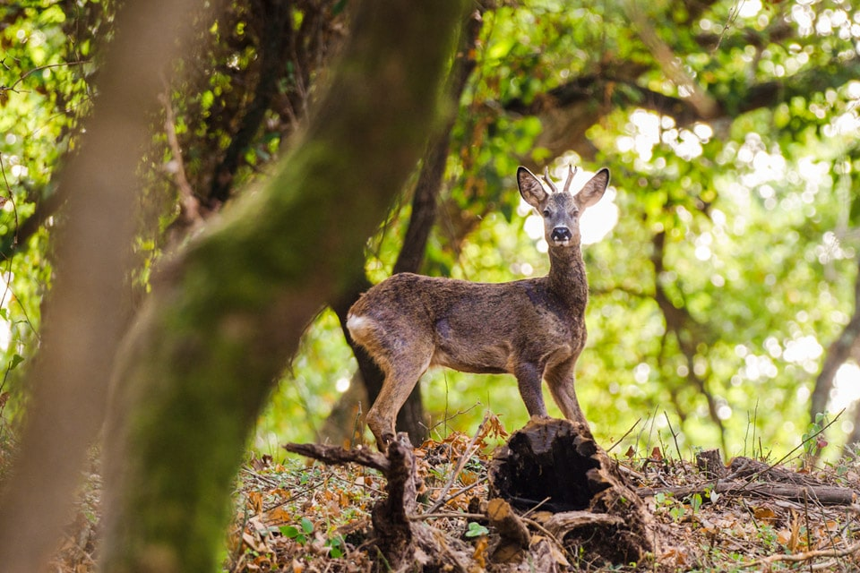 Roe Deer in Los Alcornocales, province of Cadiz. Photography by Yeray Seminario, Birding The Strait.