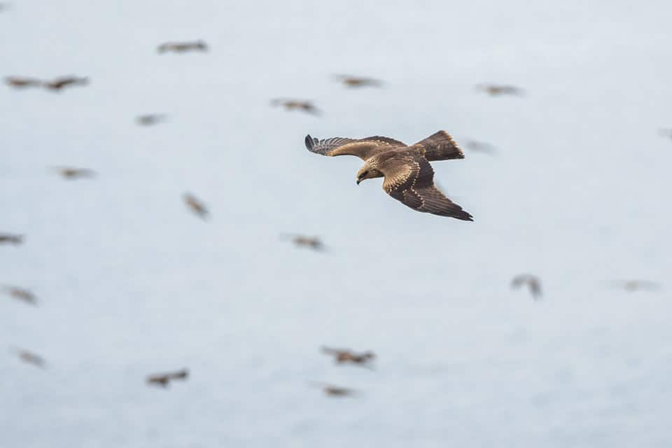 Flock of Black Kites near Tarifa. Photography by Yeray Seminario, Birding The Strait.