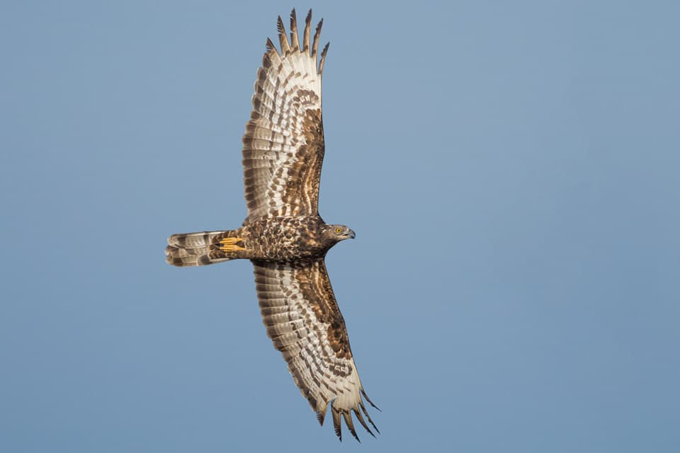 Female European Honey-Buzzard in active migration. Photography by Yeray Seminario, Birding The Strait.