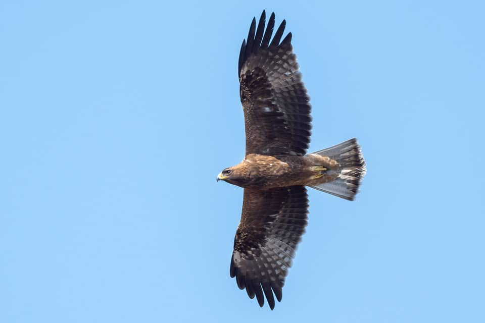 Dark morph Booted Eagle in Tarifa. Photography by Yeray Seminario, Birding The Strait.