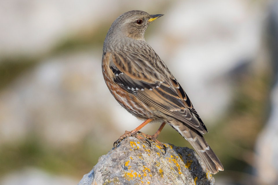 Alpine Accentors can be seen in your Birdwatching Holidays in Spain. Photography by Yeray Seminario, Birding The Strait.