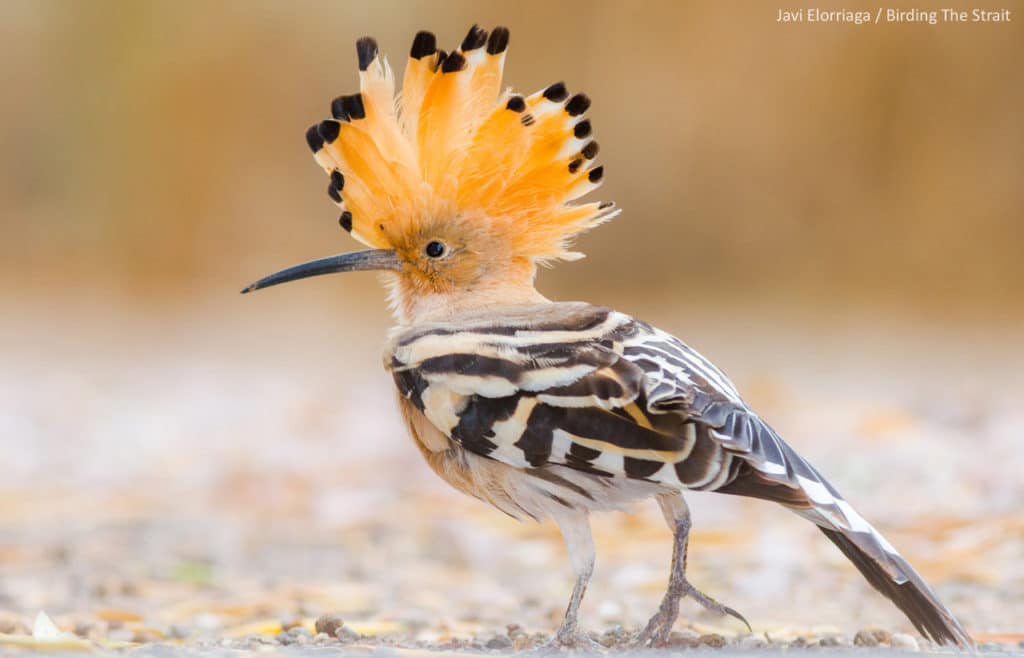 The Hoopoe is a charismatic bird that we can add to our lists in Tarifa, Cádiz, during the Global Big Day in Spain. Photograph by Javi Elorriaga, Birding The Strait.