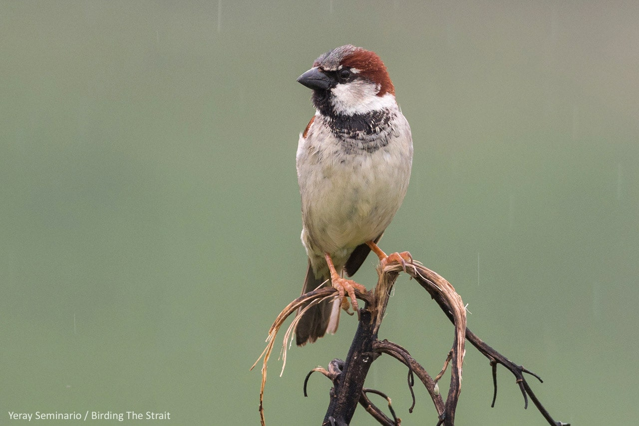 House Sparrow, one of the most widespread birds on the planet, will probably be present on our Global Big Day 2020. Photograph by Yeray Seminario, Birding The Strait.