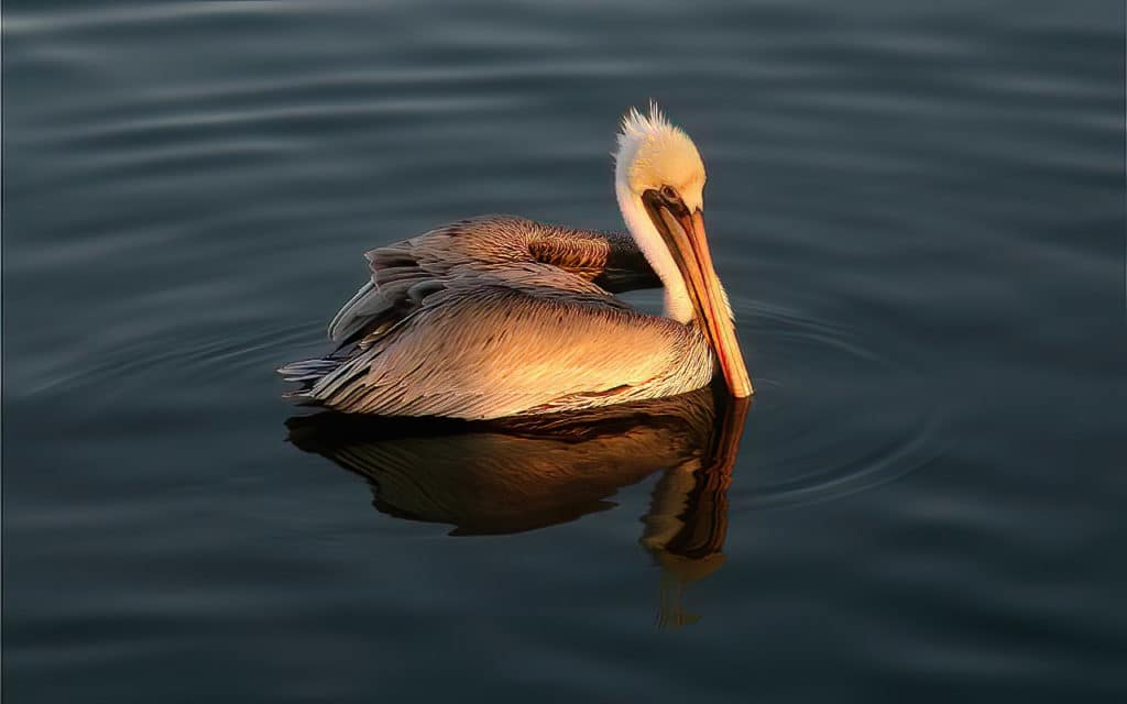 The Brown Pelican is a common bird on the Pacific coast of America, and can be observed on the Global Big Day from California to Panama. Photograph by Yeray Seminario.