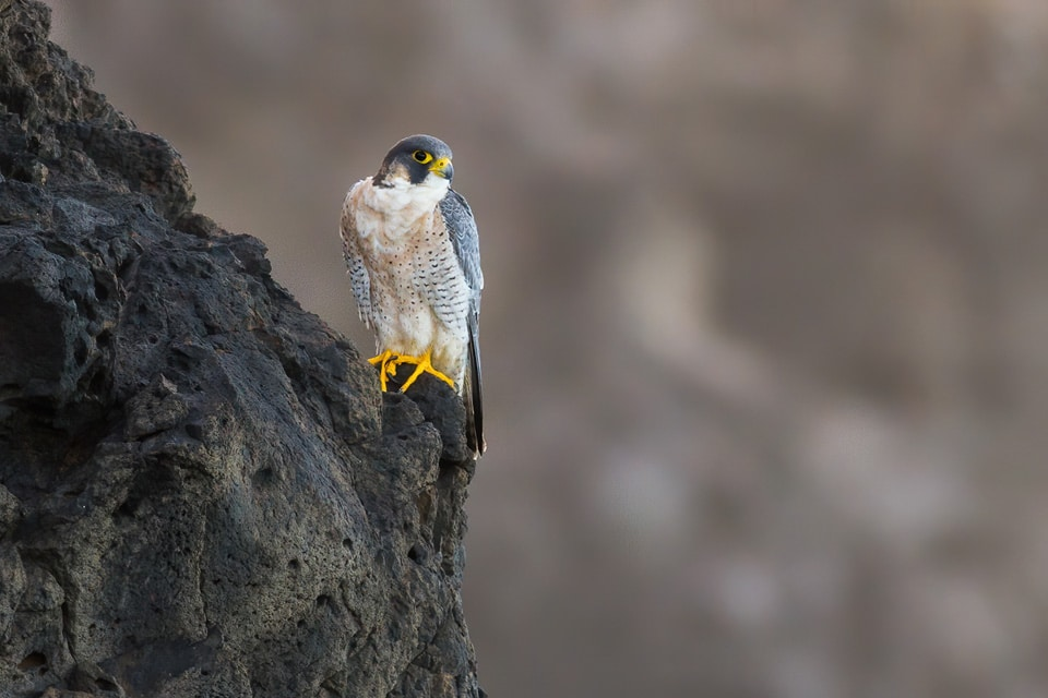 Barbary Falcons can be found both in Tenerife and Fuerteventura. Photograph by Javi Elorriaga, Birding The Strait