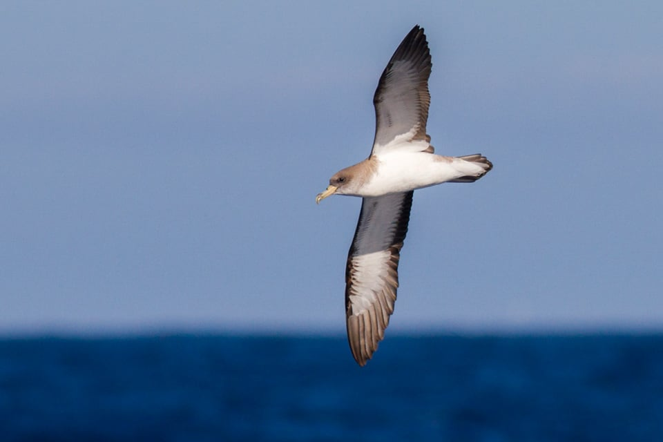 During this tour we will have an opportunity to do some seawatching with the possibility to see Cory's Shearwater among other species. Photograph by Yeray Seminario, Birding The Strait.
