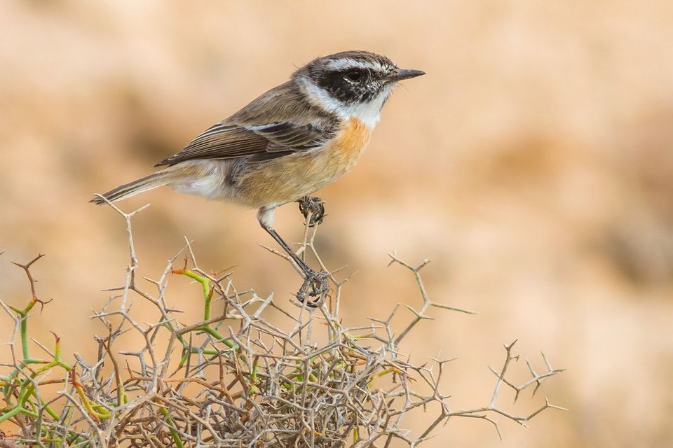 The Fuerteventura Stonechat is a must-see in our Canary Islands Birding Tour. Photograph by Yeray Seminario, Birding The Strait.