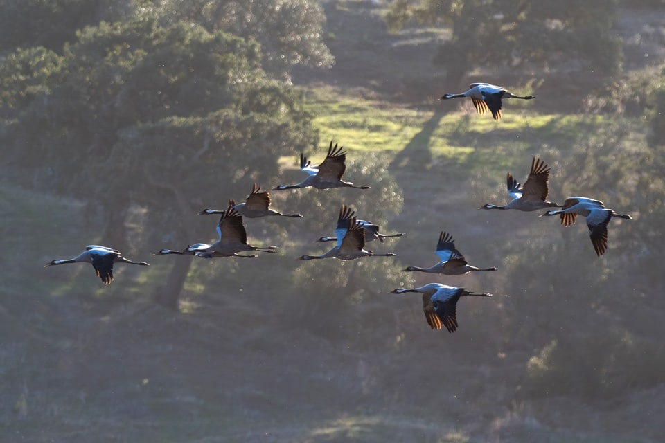 An usual sight in late autumn and through the winter: flock of Common Cranes in La Janda. These situations are excellent to practice drawing birds in flight. Photograph by Yeray Seminario, Birding The Strait.