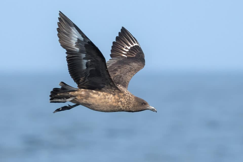 From the Island of Tarifa we can observe and practice drawing seabirds in flight. Photograph of Great Skua Grande by Yeray Seminario, Birding The Strait.