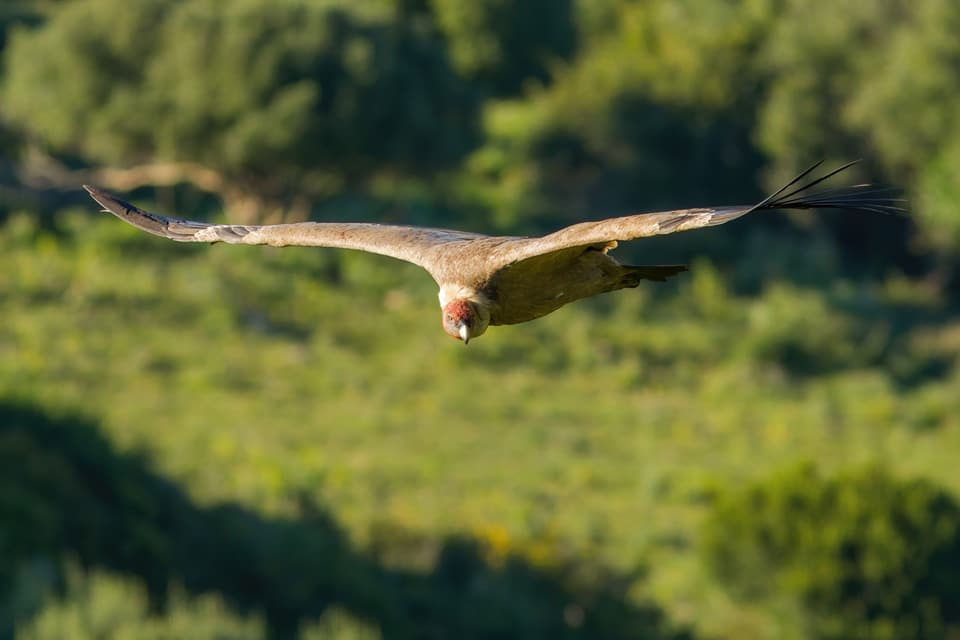 One of the birds that will give us more opportunity to practice drawing birds in flight will be the Griffon Vulture. Photograph by Yeray Seminario, Birding The Strait.