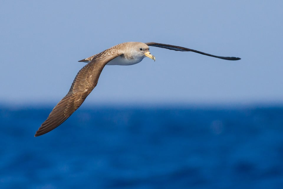 OCTOBER AND NOVEMBER ARE TWO OF THE BEST MONTHS FOR SEAWATCHING IN THE STRAIT OF GIBRALTAR, WITH LARGE FLOCK'S OF CORY'S SHEARWATER AND BALEARIC SHEARWATER IN MIGRATION. PHOTOGRAPH BY Yeray Seminario, BIRDING THE STRAIT.