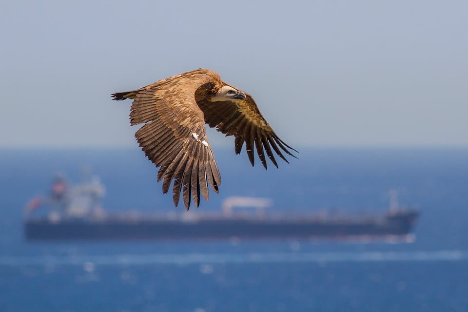 Griffon Vulture migration is both spectacular and dramatic, with some vultures falling into the sea occasionally. Photograph by Javi Elorriaga, Birding The Strait.
