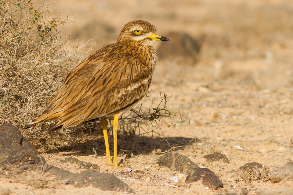 In our Canary Islands Birding tour, in addition to all endemic birds we will be looking for endemic subspecies, like this Stone Curlew from the subspecies insularum. Photograph by Yeray Seminario, Birding The Strait.