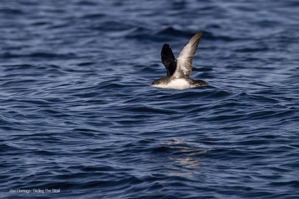 Puffinus Shearwater in Andalucia.  Photo by Javi Elorriaga / Birding the Strait