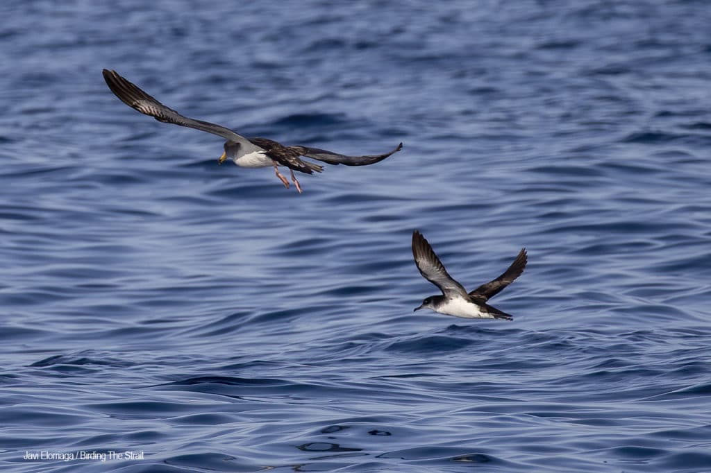 Manx Shearwater in Andalucia. Photo by Javi Elorriaga / Birding The Strait
