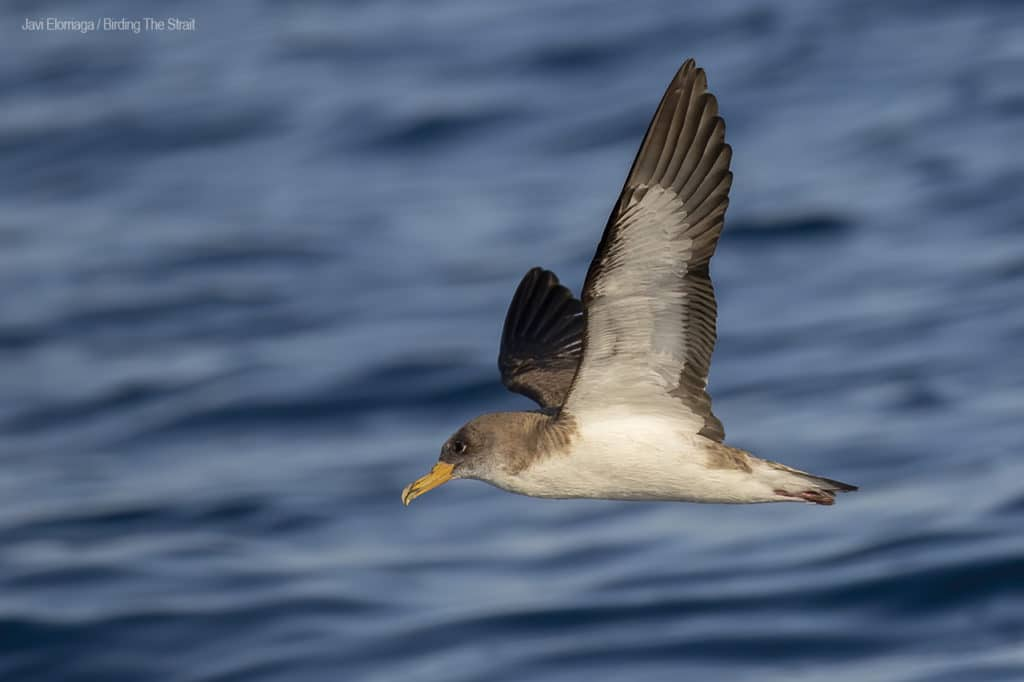 Cory´s Shearwater in Andalucia. Photo by Javi Elorriaga / Birding The Strait