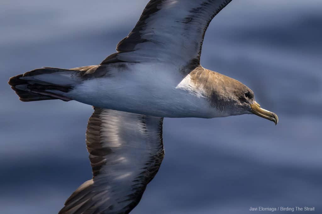Cory's Shearwater i in Andalucia. Photo by Javi Elorriaga / Birding The Strait