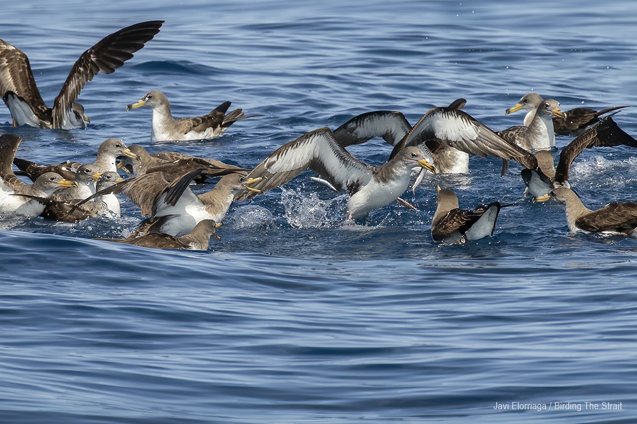 Cory´s Searwaters in Andalucia. Photo by Javi Elorriaga / Birding The Strait
