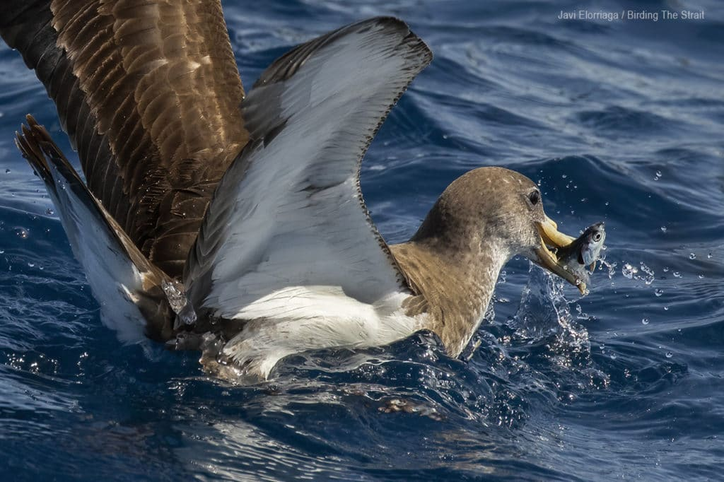 Cory´s Shearwater in Andalucia. Photo by Javi Elorriaga / Birding The Stait.