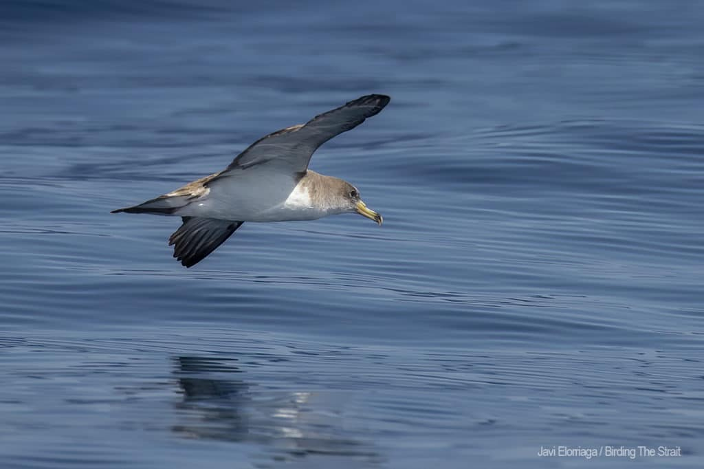 Scopoli´s Shearwater in Andalucia. Photo by Javi Elorriaga / Birding The Strait