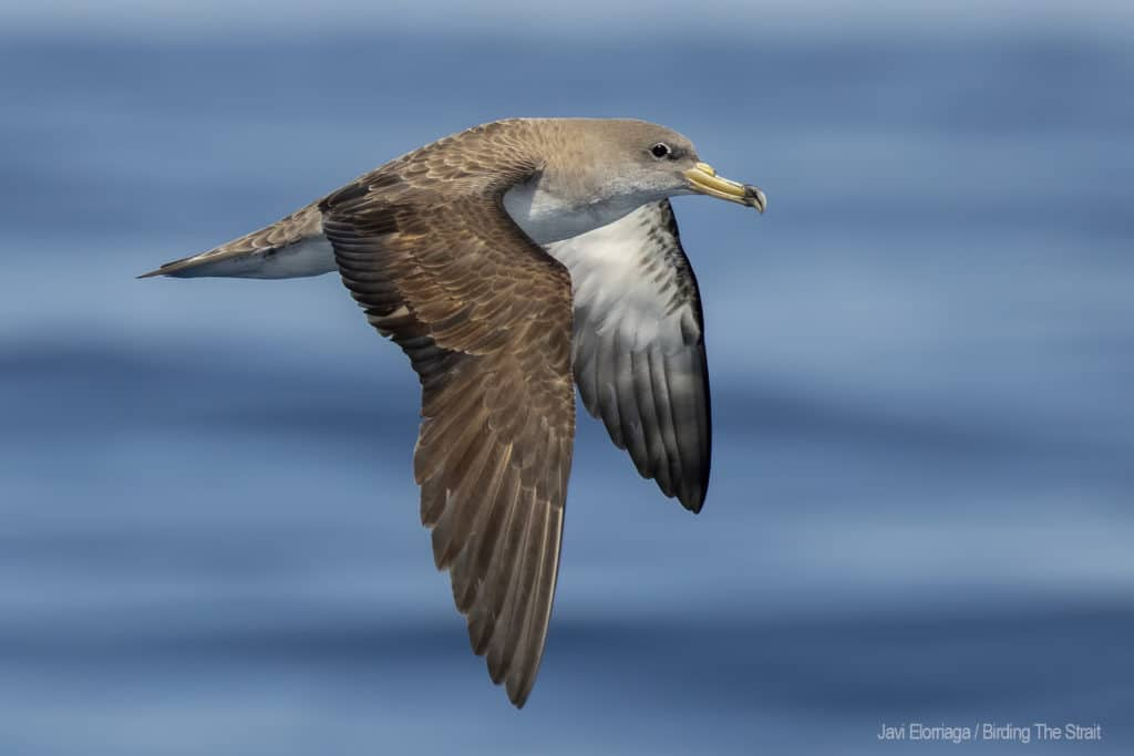 Cory´s Shearwater in the Gulf of Cadiz. Photo by Javi Elorriaga / Birding The Strait