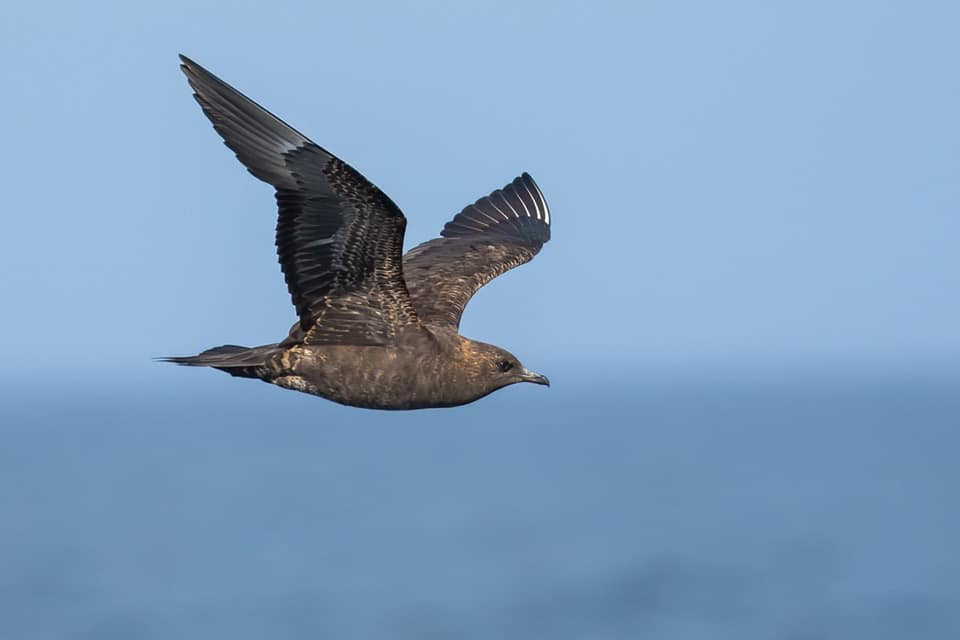 Arctic Skua in the Gulf of Cadiz during a pelagic trip. Photograph by Yeray Seminario, Birding The Strait.