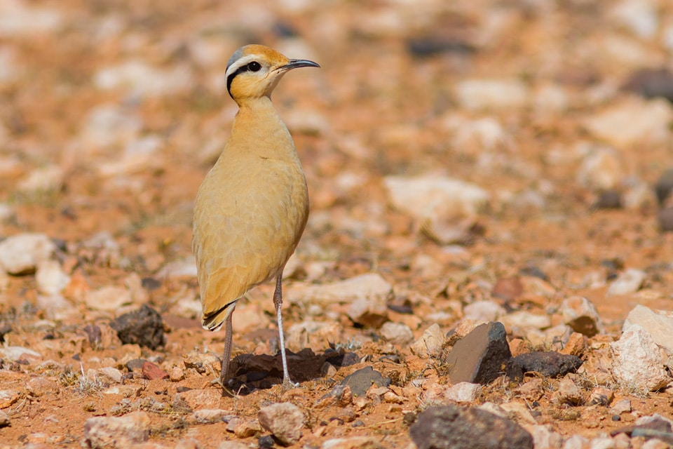 ANOTHER BIRD OF THE DESERT OF MOROCCO IS THE CREAM-COLORED COURSER, WHICH IS RELATIVELY ABUNDANT BUT SOMETIMES HARD TO FIND BECAUSE ITS CRYPTIC PLUMAGE. PHOTOGRAPH BY YERAY SEMINARIO, BIRDING THE STRAIT.