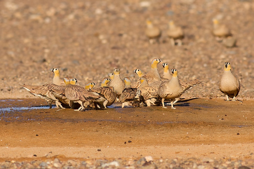 FLOCK OF CROWNED SANDGROUSE DRINKING IN A POND IN MERZOUGA, MOROCCO. PHOTOGRAPH BY JAVI ELORRIAGA, BIRDING THE STRAIT.